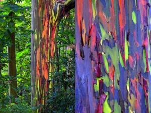 Arc-en-ciel-bosquets-deucalyptus-Mindanao-Philippines